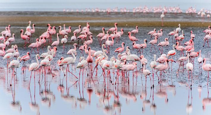 British Ecological Society image of flamingos