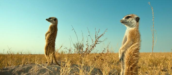 British Ecological Society image of meekats