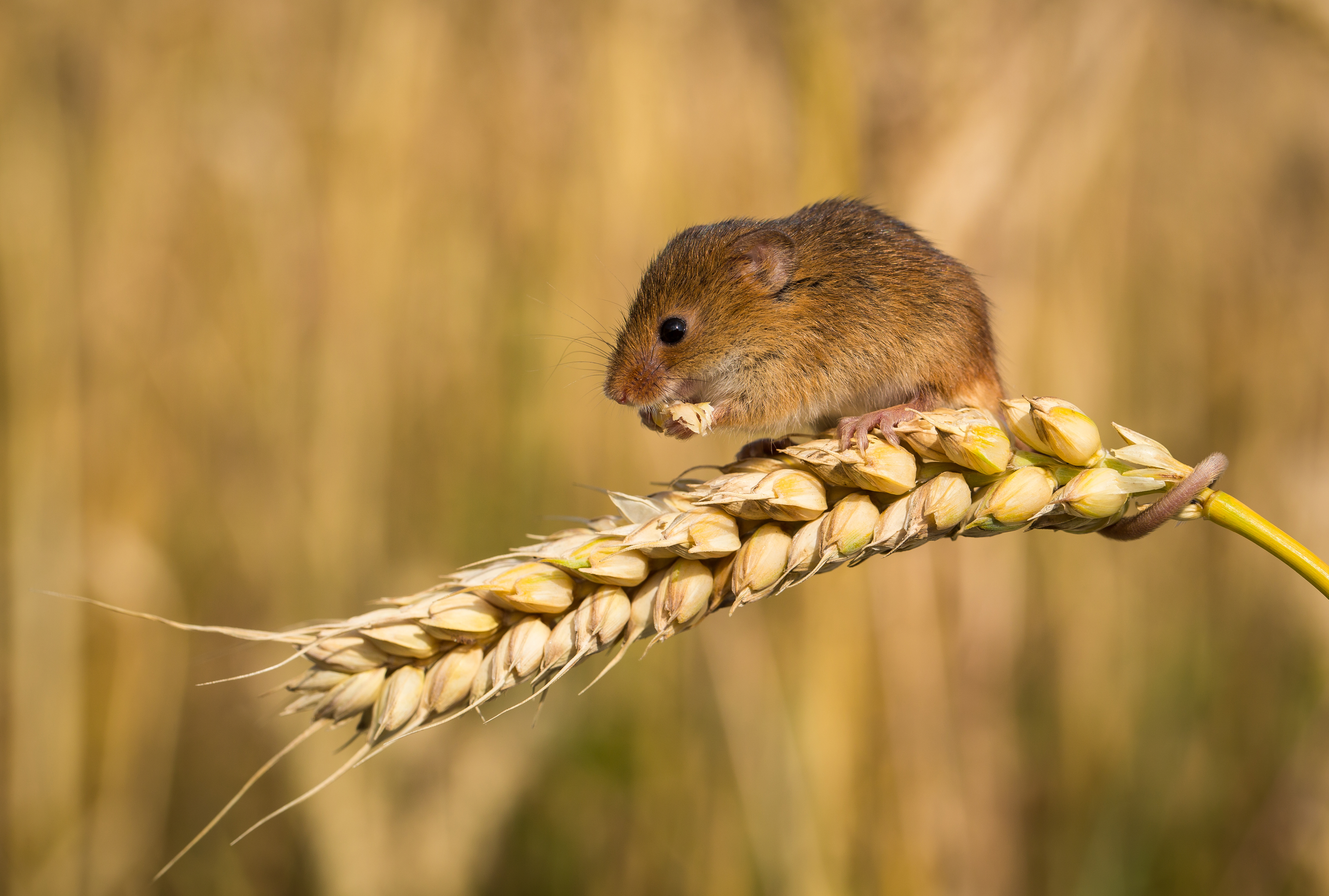 British Ecological Society image of a mouse on wheat