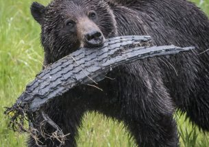 Press Release: Forbidden fruit a fatal temptation for grizzly bears in Southeastern British Columbia