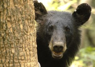 Press Release: Controversial black bear hunt disproportionately harvests nuisance bears and reduces human-bear conflicts