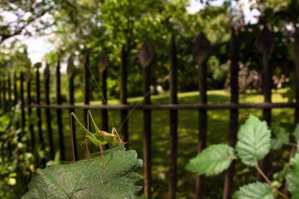 Speckled Bush-crickets