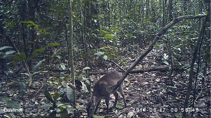 A Maxwell's duiker photographed using a camera trap.