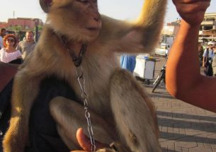 Using endangered barbary macaques as photo props could have negative impacts on tourism in Morocco