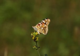 New model predicts Painted Lady butterfly migrations based on breeding sites data