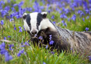 Badger behaviour inside the cull zone