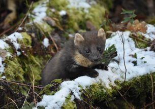 Northern Ireland's recovering pine marten population benefits red squirrels, but the urban grey squirrel poses a problem