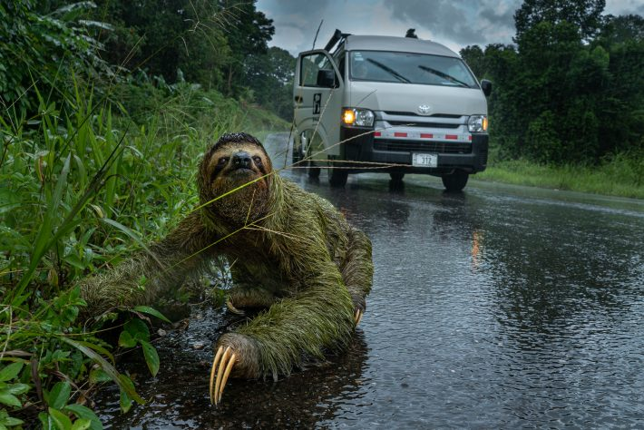 A three-toed sloth making it's way across the road in the rain