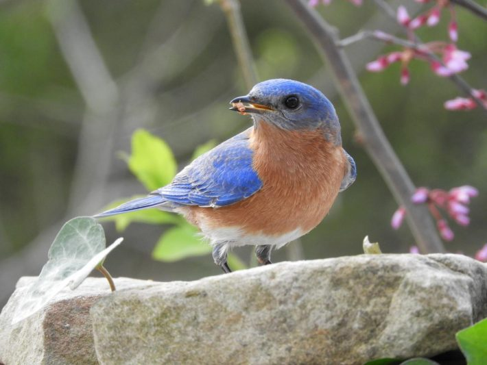 feeding bluebirds can have a significant impact on parasitic nest flies feeding on baby bluebirds.