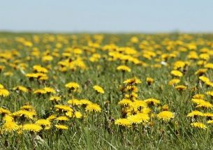 Why the British Ecological Society President mows round the dandelions in her lawn