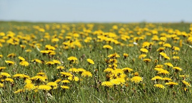 Mow around dandelions to support bees