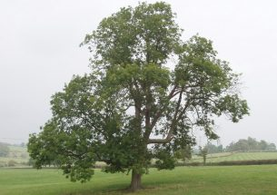 Ash dieback is less severe in isolated ash trees