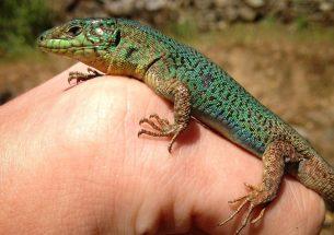Lizards develop new 'love language'