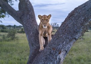 African lion numbers are being overestimated by survey methods