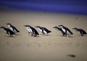 Learning about penguin's diet may save marine life, study finds