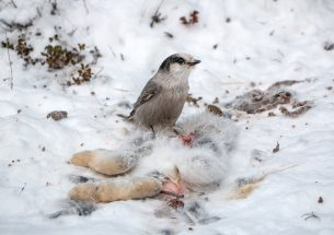 Snowshoe hare carcasses feed more then the usual suspects, study shows