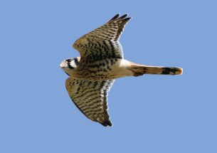 """Frequent Fliers'': Study finds long-distance dispersal trend in American kestrels"