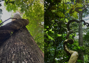 Lianas strongly impact forests in southern Amazonia