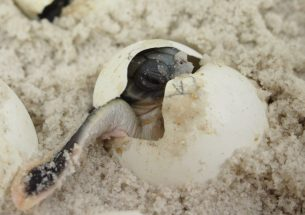 How temperature determines the sex of hatchling sea turtles