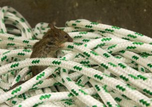 Tracking re-invasion of mice on offshore havens