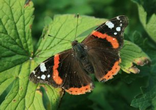 Provide shady spots to protect butterflies from climate change, say scientists