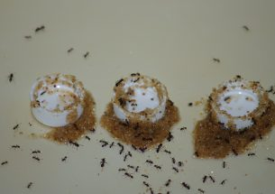 Ants adapt tool use to avoid drowning