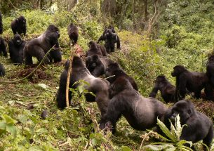Mountain gorillas are good neighbours – up to a point