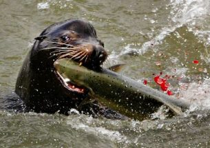 Early-arriving endangered Chinook salmon take the brunt of sea lion predation on the Columbia