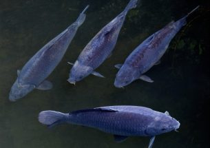 Australian carp virus plan 'dead in the water'