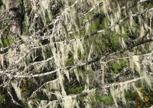 New knowledge on how climate affects pendulous lichens in northern forests