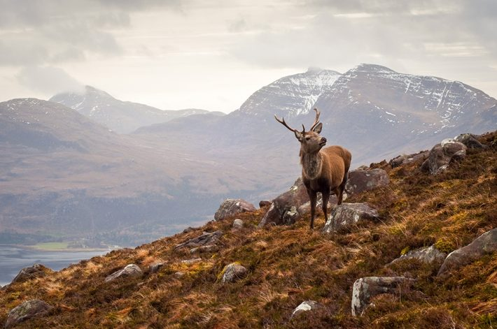 A stag stands on the side of a steep hill