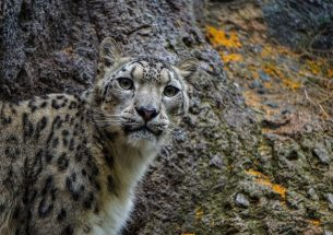 Snow Leopard researchers call for ethical standards for wildlife camera trapping