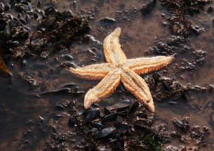 More frequent and extreme marine heatwaves likely to threaten starfish