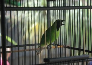 Characterising wildlife consumers to guide behaviour change efforts provides optimism amid the Asian Songbird Extinction Crisis