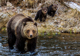 Lactating grizzly bears use cooling baths to avoid heat stress