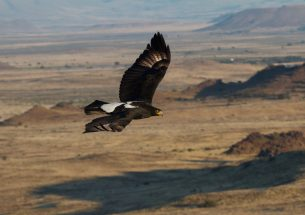 Win-win for wind energy and eagles