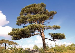 New research reveals the resilience of Scots pine trees to drought