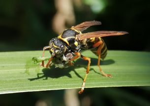 Wasps share resources on offshore island