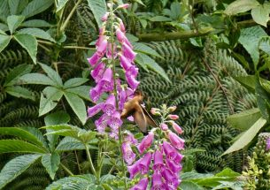 Study finds rapid evolution in foxgloves pollinated by hummingbirds