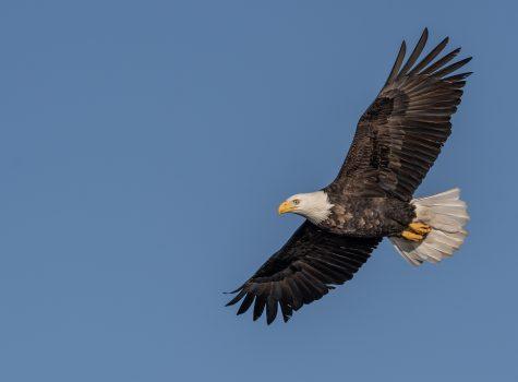 eBird Data Used to Shape Eagle Management