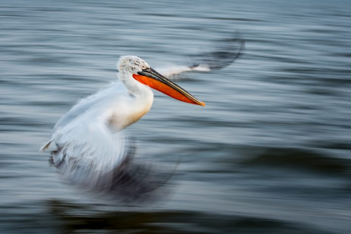 A panning shot of a Dalmatian Pelican taken as it flies closely over water.