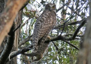 Scientists call for improved management of a weedy tree to protect owl habitat