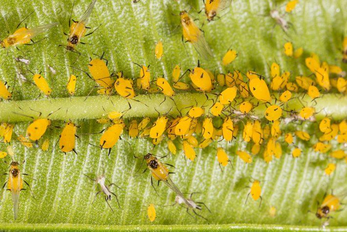 A close up image of a cluster of Oleander aphids congregating on a leaf stem.