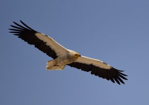 Captive breeding programme essential for vultures' survival
