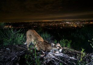 Mountain lions in greater Los Angeles moved less during the covid-19 stay-at-home order