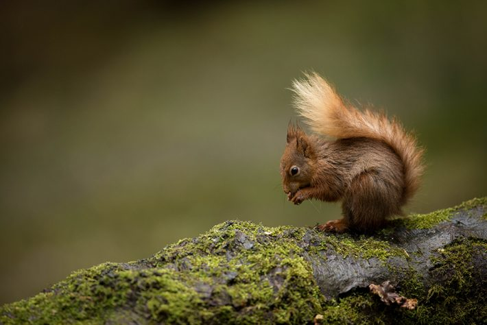 A red squirrel sitting on a log covered in moss