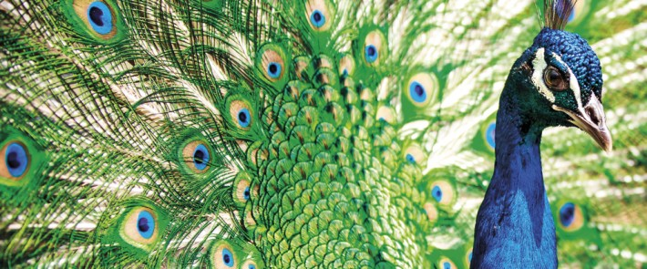 British Ecological Society image of a close-up of a peacock showing brightly coloured head and tail