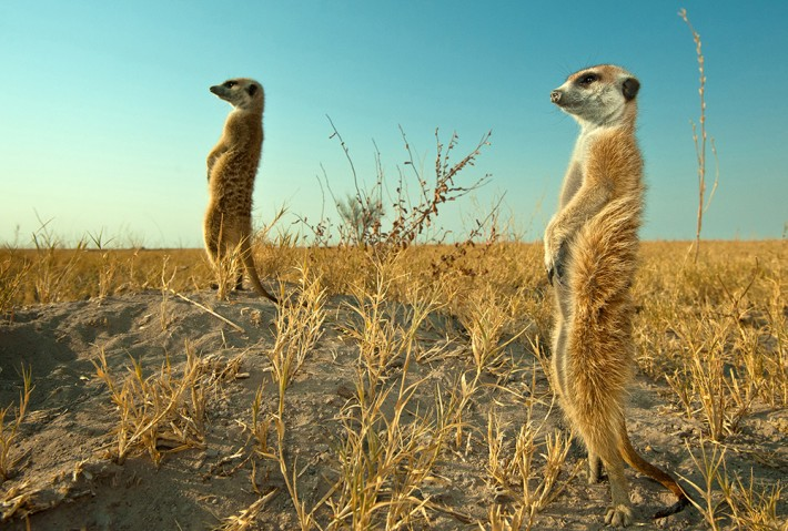 British Ecological Society image of meerkats
