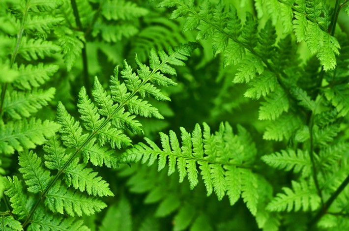 British Ecological Society image of ferns