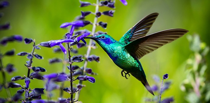 British Ecological Society image of a humming bird